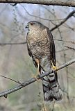 Sharp-shinned Hawkborder=