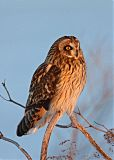 Short-eared Owlborder=