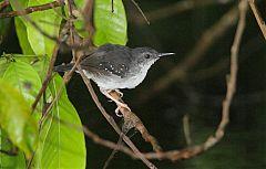 Silvered Antbird