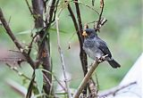 Slate-colored Seedeater