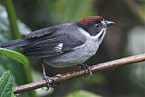 Slaty Brushfinch