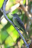 Small-billed Elaeniaborder=