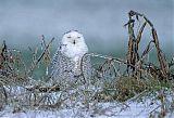 Snowy Owlborder=