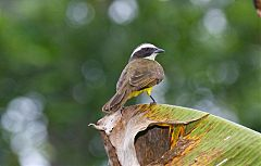 Social Flycatcher