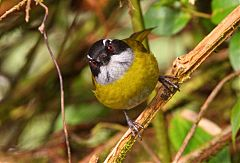 Sooty-capped Chlorospingus