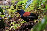 South Island Saddlebackborder=