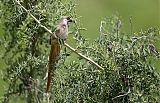 Speckled Mousebirdborder=