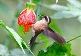 Speckled Hummingbirdborder=