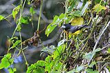 Spot-winged Grosbeakborder=