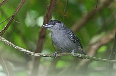 Spot-winged Antshrike