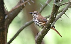 Spotted Morning-Thrush