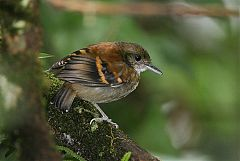 Spotted Antbird