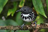 Spotted Antbirdborder=