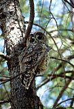 Spotted Owlborder=