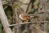 Spotted Towheeborder=