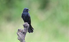 Common Square-tailed Drongo