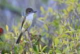 Stolid Flycatcher