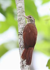 Straight-billed Woodcreeper