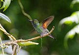 Stripe-tailed Hummingbirdborder=