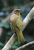 Stripe-throated Bulbulborder=