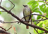 Sulphur-bellied Flycatcherborder=