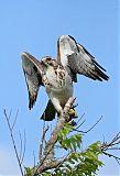 Swainson's Hawkborder=