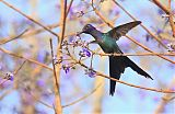 Swallow-tailed Hummingbirdborder=