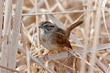 Swamp Sparrowborder=