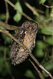 Tawny-bellied Screech-Owlborder=