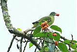 Thick-billed Pigeon