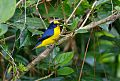 Thick-billed Euphoniaborder=