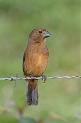 Thick-billed Seed-Finch