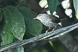 Thrush-like Wrenborder=