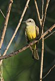 Tropical Kingbirdborder=
