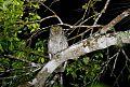 Tropical Screech-Owlborder=