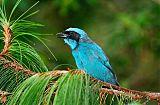 Turquoise Jayborder=