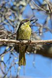 Varied Honeyeaterborder=