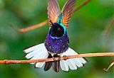 Velvet-purple Coronetborder=