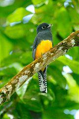 Guianan Trogon