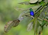 Violet-bellied Hummingbird