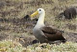 Waved Albatrossborder=
