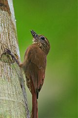 Wedge-billed Woodcreeper