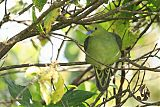 Wedge-tailed Green-Pigeonborder=