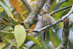 Western Striolated-Puffbird