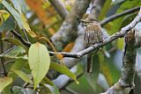 Western Striolated-Puffbirdborder=