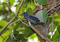 Black-crowned Antshrikeborder=