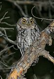 Whiskered Screech-Owlborder=