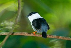 White-bearded Manakin