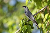 White-bellied Cuckooshrikeborder=