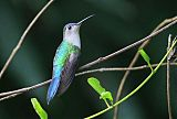 White-bellied Emeraldborder=